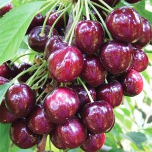 дерево черешни в саду
