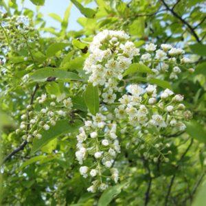 дерево черемухи