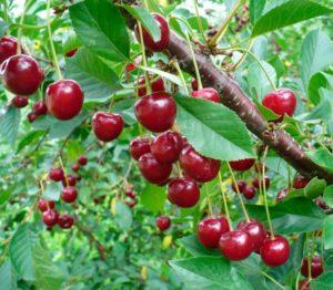 дерево вишни