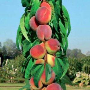 колоновидное дерево персика