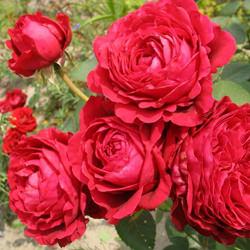 красная роза флорибунда