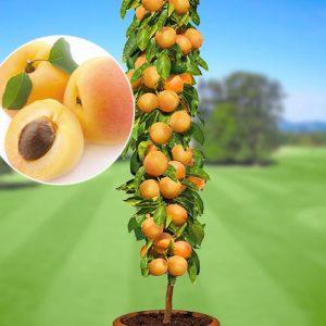 колоновидное дерево абрикоса в горшке